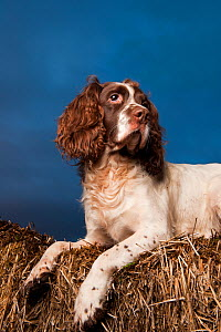 Portrait of Springer spaniel, lying on straw stack, Scotland, UK - Niall Benvie