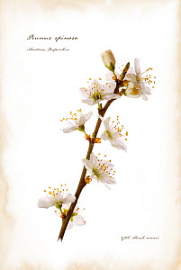 Photograph of Blackthorn blossom (Prunus spinosa) manipulated and text added to represent illustrated book page. Scotland, UK, July  -  Niall Benvie