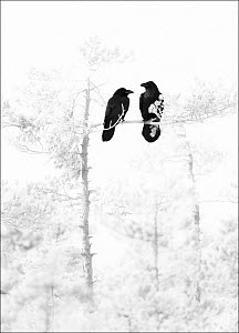 A pair of Ravens (Corvus corax) perched in bleached out pine tree, Estonia, March 2008  -  Niall Benvie
