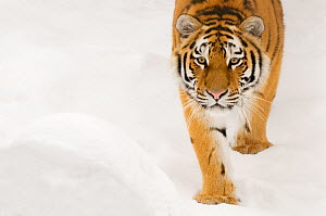 Portriat of Siberian tiger (Panthera tigris altaica) walking in snow, captive - Edwin Giesbers