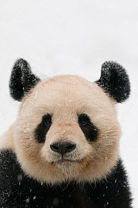 Head portrait of Giant panda (Ailuropoda melanoleuca) covered in snow captive (born in 2000) Occurs China  -  Edwin Giesbers