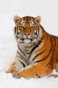 Portrait of Siberian tiger (Panthera tigris altaica) resting in the snow, captive  -  Edwin Giesbers