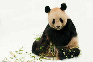 RF- Giant panda (Ailuropoda melanoleuca) feeding on bamboo in snow. Captive born in 2000, occurs in China. (This image may be licensed either as rights managed or royalty free.) - Edwin  Giesbers