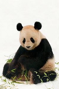 Giant panda (Ailuropoda melanoleuca) feeding on bamboo in the snow, captive (born in 2000) Occurs China - Edwin Giesbers