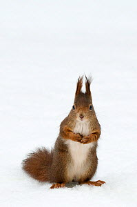 Red squirrel (Sciurus vulgaris) sitting upright in deep snow, Austria, Europe - Edwin Giesbers