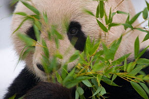 Head portrait of Giant panda (Ailuropoda melanoleuca) feeding on bamboo, captive (born in 2000) - Edwin Giesbers