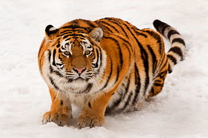 Portrait of Siberian tiger (Panthera tigris altaica) crouching in snow, ears back and ready to attack, captive  -  Edwin Giesbers