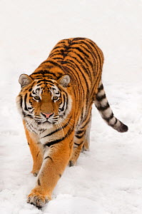 RF- Portrait of Siberian tiger (Panthera tigris altaica) walking in snow, captive. - Edwin  Giesbers