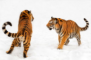 Two Siberian tigers (Panthera tigris altaica) play-fighting in the snow, captive - Edwin Giesbers