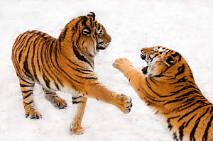 Two Siberian tigers (Panthera tigris altaica) playing / fighting in the snow, captive  -  Edwin Giesbers