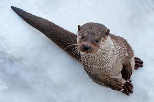 Portrait of European otter (Lutra lutra) sitting upright in snow, captive, the Netherlands  -  Edwin Giesbers