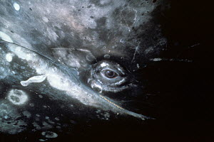 Close up of Grey whale (Eschrichitius robustus) eye, Baja California, Mexico, Pacific  -  Doc White