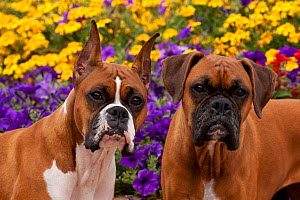 Portrait of a two Boxer dogs in flower garden, with cropped ears and natural ears, Illinois, USA - Lynn M Stone