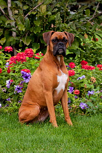 Portrait of fawn-colored Boxer with natural ears, sitting by flower border, Illinois, USA - Lynn M Stone