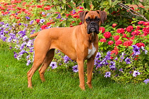 Portrait of fawn coloured Boxer, with natural ears, standing by flower border, with tail docked. Illinois, USA - Lynn M Stone