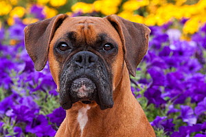 Head portrait of fawn coloured Boxer with natural ears, sitting by flower border, Illinois, USA - Lynn M Stone