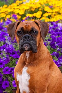 Head portrait of fawn coloured Boxerwith natural ears, sitting by flower border, Illinois, USA - Lynn M Stone