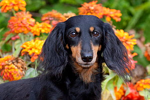Head portrait of  black and tan smooth coated Dachshund with zinnias,  Illinois, USA - Lynn M Stone