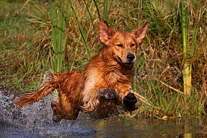 Golden Retriever lunging into pond to begin retrieve, Woodstock, Illinois, USA - Lynn M Stone