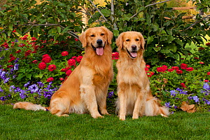 Pair of Golden Retrievers male and female, sitting on grass with petunias and zinnias,  Illinois, USA  -  Lynn M Stone