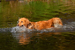 Female Golden Retrieverswimming across stream on retrieve, Illinois, USA - Lynn M Stone