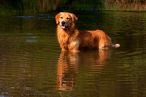 Male Golden Retriever standing in stream on retrieve, Illinois, USA - Lynn M Stone