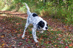 English Setter on retrieve running down track, Putnam, Connecticut, USA - Lynn M Stone