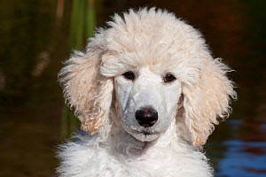 Head portrait of Standard Poodle puppy standing by freshwater pond, Putnam, Connecticut, USA  -  Lynn M Stone