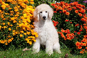 Portrait of Standard Poodle puppy sitting with chrysanthemums, Putnam, Connecticut, USA  -  Lynn M Stone
