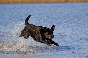 Black Labrador Retriever on retrieve, running through shallows of pond in salt marsh, Rhode Island, USA - Lynn M Stone
