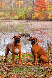 HeaPair of male Boxers fawn coloured with natural ears, sitting by lake in Autumn,  Illinois, USA - Lynn M Stone