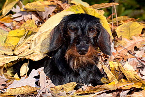 Portrait of Miniature Dachshund (wire haired) in autumn leaves, Illinois, USA - Lynn M Stone