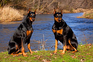 Two female Doberman Pinschers, with cropped ears, sitting on grassy stream bank, Illinois, USA  -  Lynn M Stone