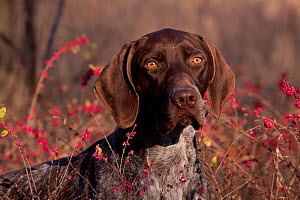 Portrait of German Shorthair Pointer in thicket of pink berries, Illinois, USA - Lynn M Stone