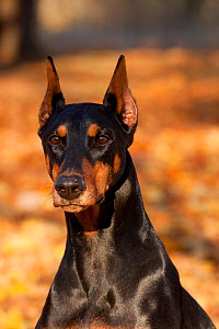 Portrait of female Doberman Pinscher sitting in yellow maple leaves, Illinois, USA - Lynn M Stone