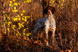 Portrait of German Shorthair Pointer in woodland,   Illinois, USA - Lynn M Stone