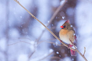 Female Northern Cardinal (Cardinalis cardinalis) perched on branch in snow storm, Illinois, USA - Lynn M Stone
