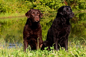 Chocolate and black Labrador Retrievers sitting in clover at edge of pond, Colchester, Connecticut, USA  -  Lynn M Stone