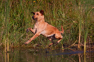 Yellow Labrador Retriever jumping into pond on a retrieve  Illinois, USA - Lynn M Stone