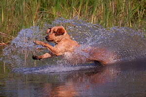 Yellow Labrador Retriever jumping into pond on a retrieve, Illinois, USA - Lynn M Stone