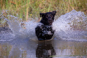 Black Labrador Retriever plunging into pond on a retrieve Illinois, USA - Lynn M Stone