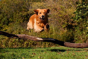 Male Golden Retriever on retrieve, leaping over a fallen branch,  Illinois, USA - Lynn M Stone