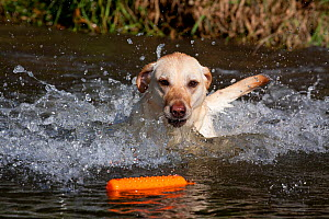 Yellow Labrador Retriever plunging into stream to retrieve orange training bumper, Illinois, USA - Lynn M Stone
