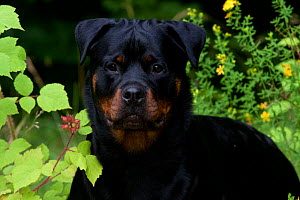 Head portrait of Rottweiler standing in field flowers and summer vegetation, Connecticut, USA  -  Lynn M Stone