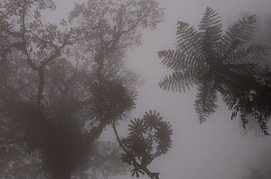 Forest vegetation in mist on the western slope of the Mindo Cloud Forest, Ecuador, South America - Pete Oxford
