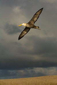 Waved albatross (Phoebastria irrorata) in flight with storm clouds, Punto Cevallos, Espa�ola (Hood) Island, Galapagos islands, Equador, South America - Pete Oxford