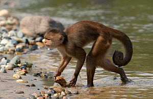White-fronted capuchin monkey (Cebus albifrons)emerging from river with food, Puerto Misahualli, Amazon rainforest, Ecuador, South America - Pete Oxford