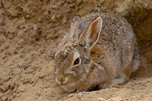 Portrait of Eastern Cottontail rabbit (Sylvilagus floridanus) sitting at entrance to burrow, Eastern Wyoming. USA  -  Pete Oxford