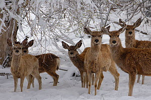 Herd of Mule deer (Odocoileus hemionus) during spring snow storm, Wyoming, USA - Pete Oxford