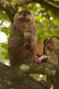 White-fronted capuchin monkey (Cebus albifrons) rubbing the skin of an onion (stolen from local people) into its skin, making use of the onion's antifungal and repellent properties. Puerto Misahualli,... - Pete Oxford